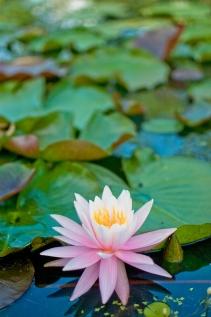 lotus_123